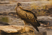 Himalayan Griffon Vulture, Gyps himalayensis, Panna Tiger Reserve, Madhya Pradesh, India