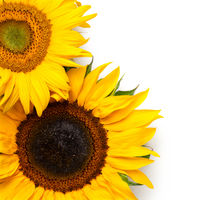 Sunflowers Border Isolated on White Background