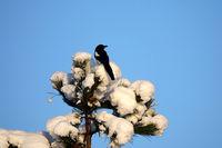 Elster auf Schwarzkiefer, Magpie on black pine