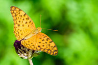 Cirrochroa Tyche butterfly on a flower