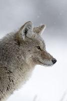 stiller Beobachter... Kojote * Canis latrans *, Kopfportrait
