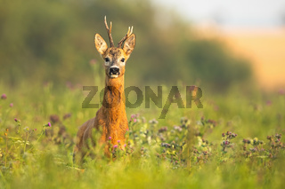 Roe deer buck with antlers standing alerted on a meadow at sunrise in summer