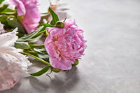 Delicate pink peonies with buds and green leaves on a gray concrete background with space for text. Flower layout