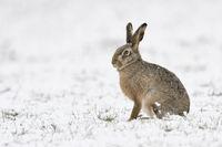 im Schnee... Feldhase * Lepus europaeus * am Niederrhein