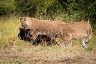 Lioness drags wildebeest past another near cub