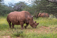White rhino, Waterberg Plateau National Park, Namibia