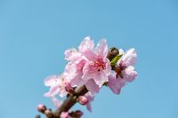 Peach blossom tree flowers against blue sky in Chengdu