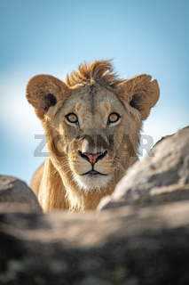 Young male lion watches camera over rocks