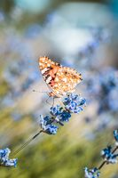 Vanessa cardui butterfly in blue lavender flowers macro insect nature close up summer