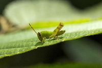 Grasshopper, Acrididaey, Aarey milk colony Mumbai