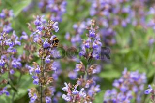 Hummel bei der Bestäubung blühender Lavendel - Nahaufnahme Nektarsuche