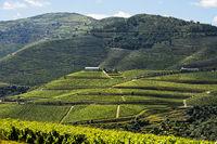 Weinberg in der Portweinregion Alto Douro, Pinhao, Douro Tal, Portugal