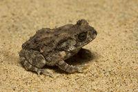 Toad, Bufo sp, Bufonidae, Trishna, Tripura , India