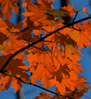 Branches with autumn red sunlight maple leaves