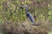 tricolored heron that stands among the grass and bushes in the middle of a drying lake