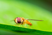 Macro shot of a marmalade hoverfly or Episyrphus balteatus