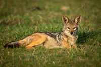 Black-backed jackal lies in grass watching camera