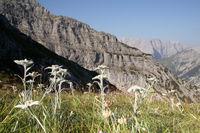 mehrere Edelweißblumen vor der Felswand