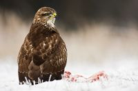 Common buzzard seated on the ground in wintertime looking around