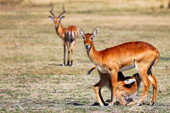 Puku, South Luangwa Nationalpark, Sambia, (Kobus vardonii) |  Pukus, South Luangwa National Park, Zambia, (Kobus vardonii)