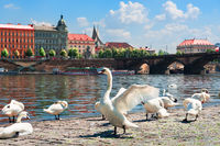 Flock of swans in Prague