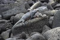 Meerechse Amblyrhynchus cristatus albemarlensis niesst, Galapagos Inseln, Ecuador