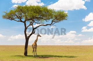 giraffe under a tree in african savanna