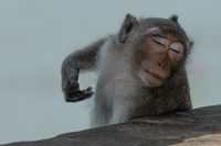 Long-tailed macaque scratching itself with eyes closed