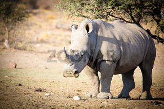 A Rhinoceros, Often Abbreviated to Rhino, Is One of Any Five Extant Species of Odd-toed Ungulates in the Family Rhinocerotidae, as Well as Any of the Numerous Extinct Species.