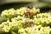Hoverfly, Syrphidae, Aarey milk colony Mumbai , India