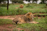 Two male lion in clearing stare ahead