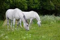 white horse is grazing in spring meadow