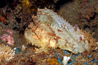 Leaf Scorpionfish, Taenianotus triacanthus