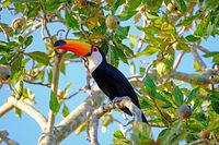 Toco Toucan, Ramphastos Toco, also known as the Common Toucan, Giant Toucan, Pantanal, Porto Jofre, Brazil