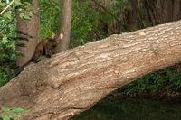 Ein Baummarder auf einem Baumstamm.