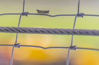 Grasshopper Holds On The Fence During A Motosports Event At Night
