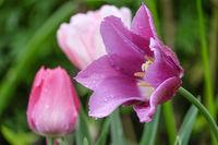 Tulpen mit Regentropfen