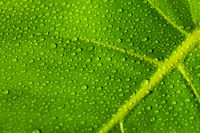 water drops on plant leaf closeup - due droplets on monstera leaves macro