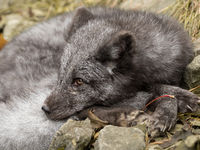 A young polar fox rests on a rock