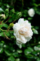 weiße Rose Blüte, Knospen