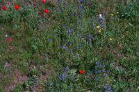 Wildwiese mit verschiedenen Mohnblumen