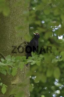 im heimischen Buchenwald... Schwarzspecht *Dryocopus martius*