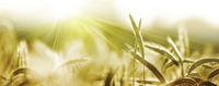 getreide ähren sonne natur banner