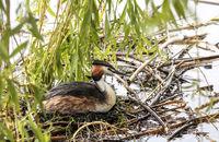 Haubentaucher,  (Podiceps cristatus) weiblich, brütend im Nest