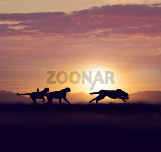 Cheetahs running at sunset