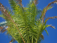Phoenix canariensis frond in front of blue sky