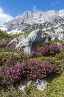 Erika im wilden Kaisergebirge in Österreich