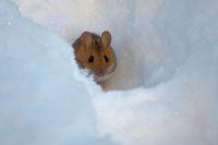 Gelbhalsmaus im Schnee
