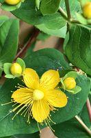 Filigrane kleine gelbe Blüte