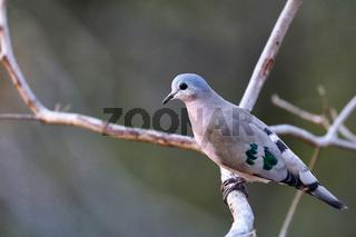 Bronzeflecktäubchen, Liwonde Nationalpark, Malawi, (Turtur chalcospilos)  |  Emerald-spotted Wood Dove, Liwonde National Park, Malawi, (Turtur chalcospilos)